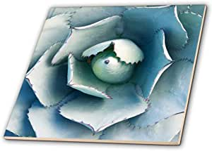 danita delimont–多肉–美国, CA , pasadena , THE 亨廷顿植物花园, agave .–瓷砖